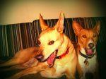 Dogs Yawning